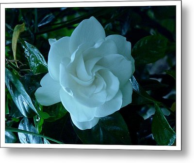 Metal Print featuring the photograph White And Fragrant by Frank Wickham