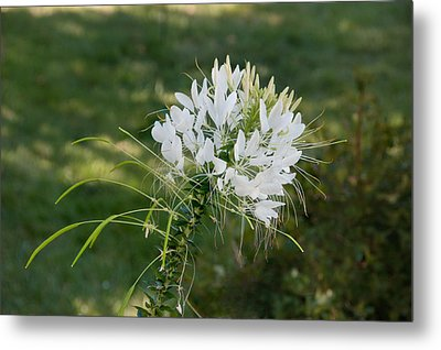 White Cleome Metal Print by Michael Bessler