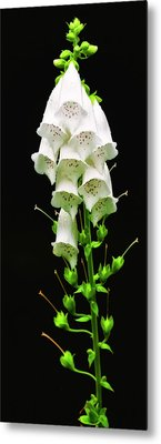 Metal Print featuring the photograph White Foxglove by Albert Seger