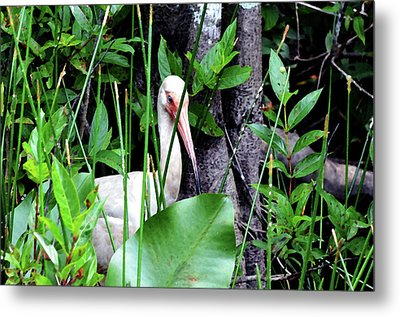 Metal Print featuring the photograph White Ibis At The Everglades by Pravine Chester