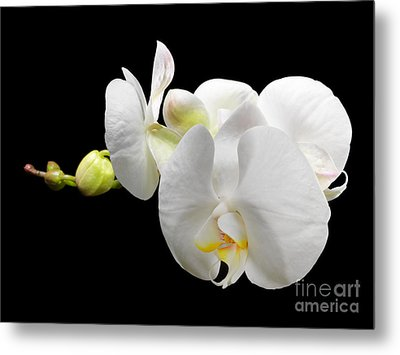 White Orchid On Black Background Metal Print