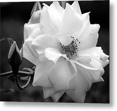 Metal Print featuring the photograph White Rose by Michelle Joseph-Long