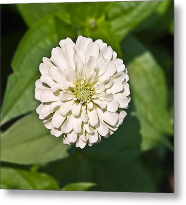 Metal Print featuring the photograph White Zinnia And Green Leaves by Susan Leggett