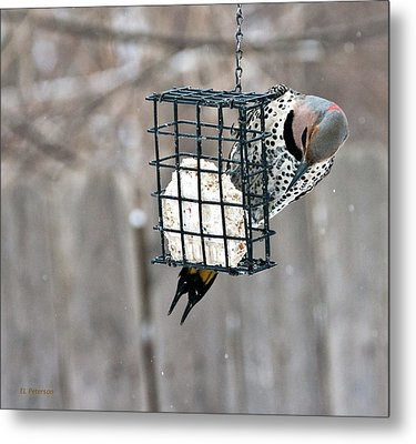 Winter Feeding Metal Print by Edward Peterson