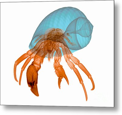 X-ray Of Hermit Crab Metal Print by Ted Kinsman