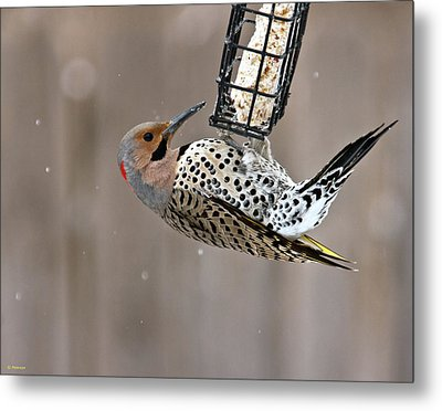 Yellow-shafted Northern Flicker Feeding Metal Print by Edward Peterson