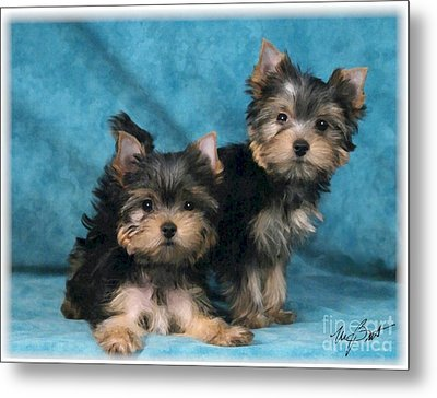 Yorkshire Terrier Pups 3 Metal Print by Maxine Bochnia