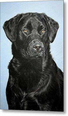 Young Black Labrador Metal Print by Lucy Swinburne