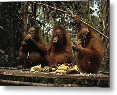 Young Orangutans Eat Together Metal Print by Rodney Brindamour