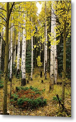 Aspen Grove In Upper Red River Valley Metal Print
