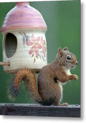 Squirrel Chatter Metal Print