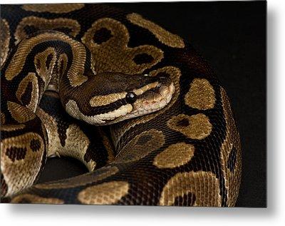 A Ball Python Python Regius Metal Print