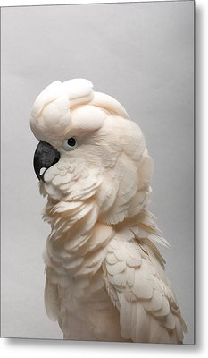 A Salmon-crested Cockatoo Metal Print by Joel Sartore