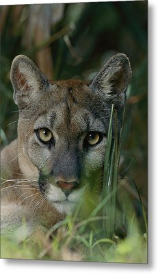 An Alleged Florida Panther. Owner Frank Metal Print by Michael Nichols