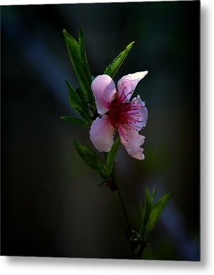 Apple Blossom Metal Print by Martin Morehead