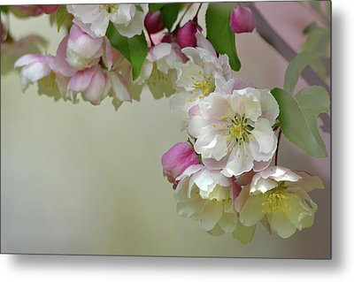 Apple Blossoms  Metal Print by Ann Bridges