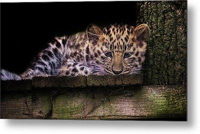 Baby Amur Leopard Metal Print by Martin Newman