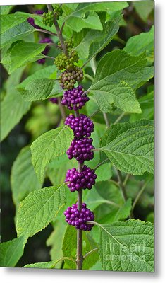 Beautyberry Metal Print