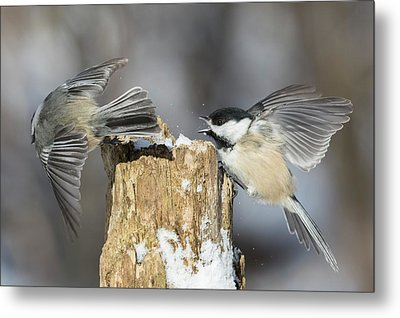 Metal Print featuring the photograph Black-capped Chickadee In Winter by Mircea Costina Photography