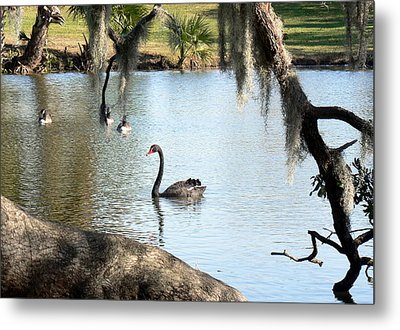 Metal Print featuring the photograph Black Swan by Elizabeth Fontaine-Barr