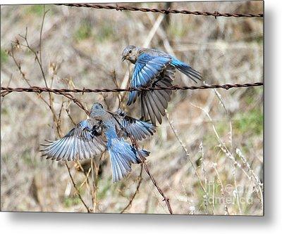 Bluebird Battle Metal Print