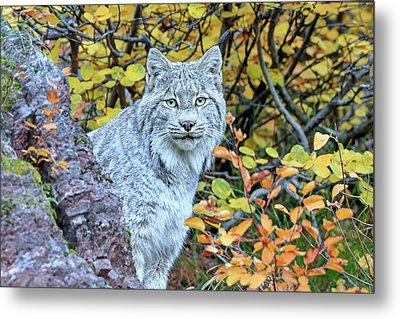Canada Lynx Metal Print by Jack Bell