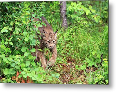 Canada Lynx Metal Print by Louise Heusinkveld