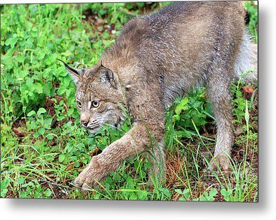 Canada Lynx Lynx Canadensis Metal Print by Louise Heusinkveld
