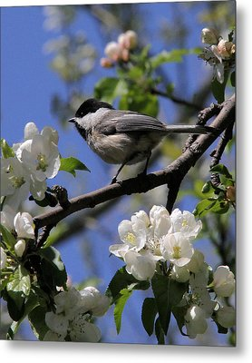 Chickadee Among The Blossoms Metal Print