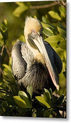 Closeup Portrait Of A Brown Pelican Metal Print by Tim Laman