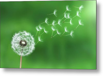 Dandelion Seeds Metal Print by Bess Hamiti