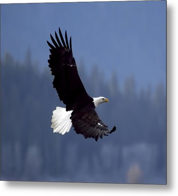 Eagle In Flight Metal Print by Clarence Alford