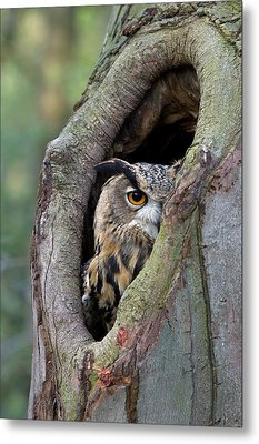 Eurasian Eagle-owl Bubo Bubo Looking Metal Print by Rob Reijnen