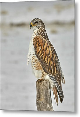 Ferruginous Hawk Metal Print by Doug Herr