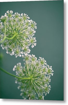 Fragile Dill Umbels On Summer Meadow Metal Print