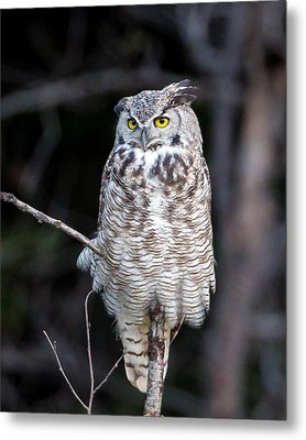 Great Horned Owl  Metal Print by Jack Bell