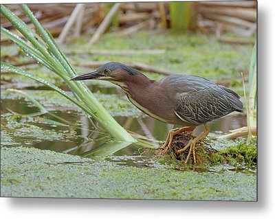 Green Heron Metal Print by Doug Herr