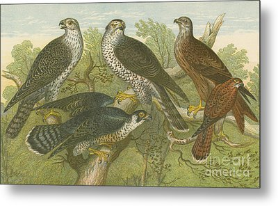 Hawks And Falcons Metal Print by English School