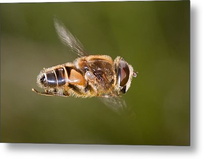 Hoverfly In Flight Metal Print