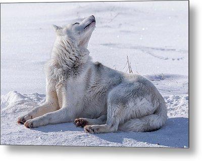 Huskies In Ilulissat, Greenland Metal Print