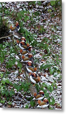 Mandarin Ducks Metal Print