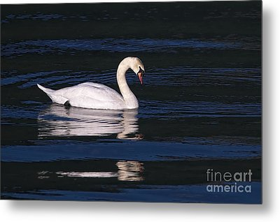 Metal Print featuring the photograph Mute Swan  by Sharon Talson