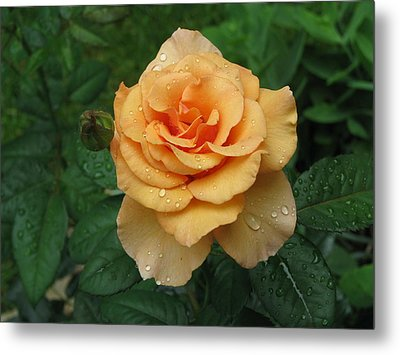 Metal Print featuring the photograph Peace Rose by Erik Falkensteen