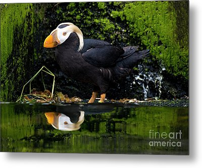 Puffin Reflected Metal Print