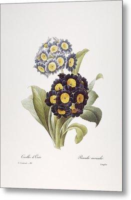 Redoute: Auricula, 1833 Metal Print