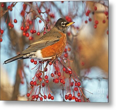 Metal Print featuring the photograph Robin.. by Nina Stavlund