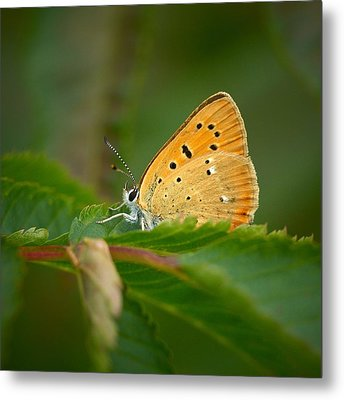 Metal Print featuring the photograph Scarce Copper by Jouko Lehto