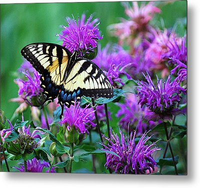 Swallowtail Butterfly  Metal Print by Lila Fisher-Wenzel