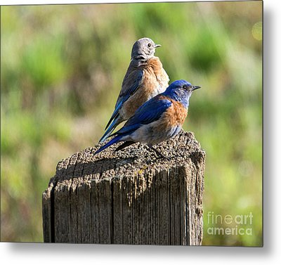 Western Bluebird Pair Metal Print