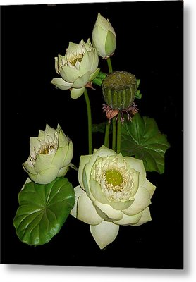 Metal Print featuring the photograph White Lotus Blossoms by Merton Allen